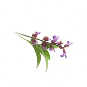 Clary_Sage_Essential_Oil